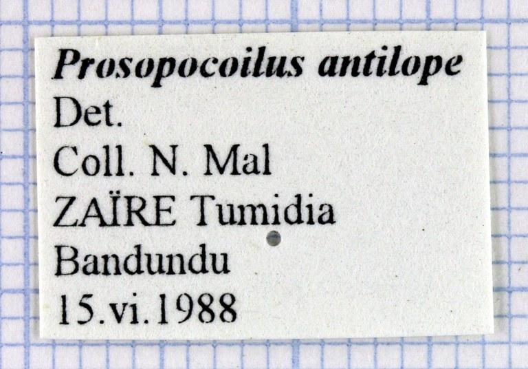 Prosopocoilus antilope 30322.jpg