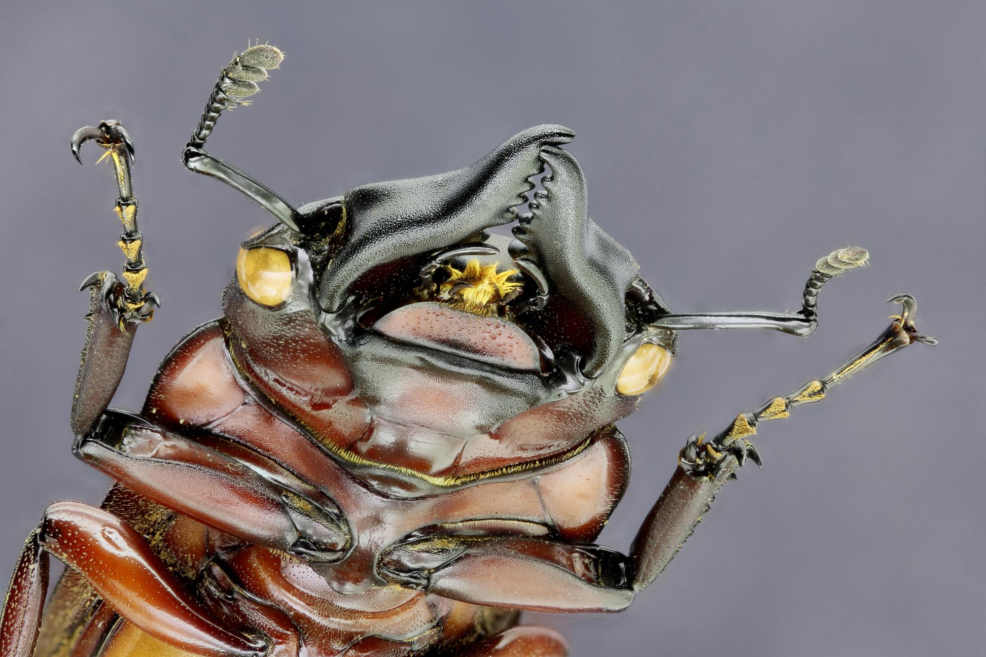 Prosopocoilus antilope 30324zs52.jpg