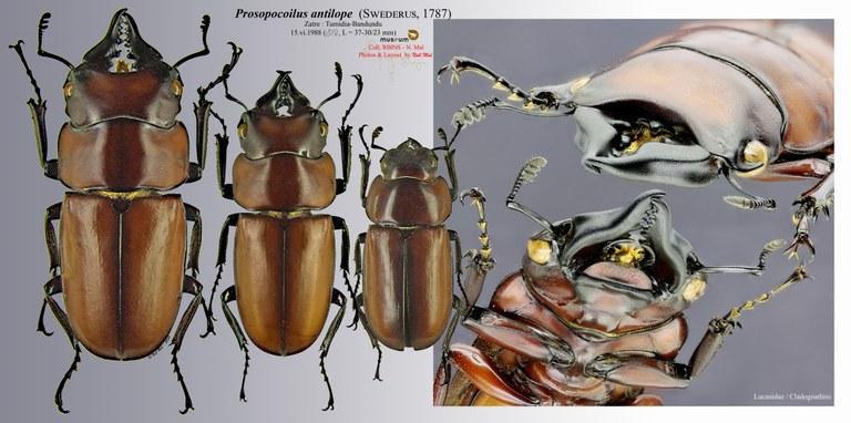 Prosopocoilus antilope.jpg
