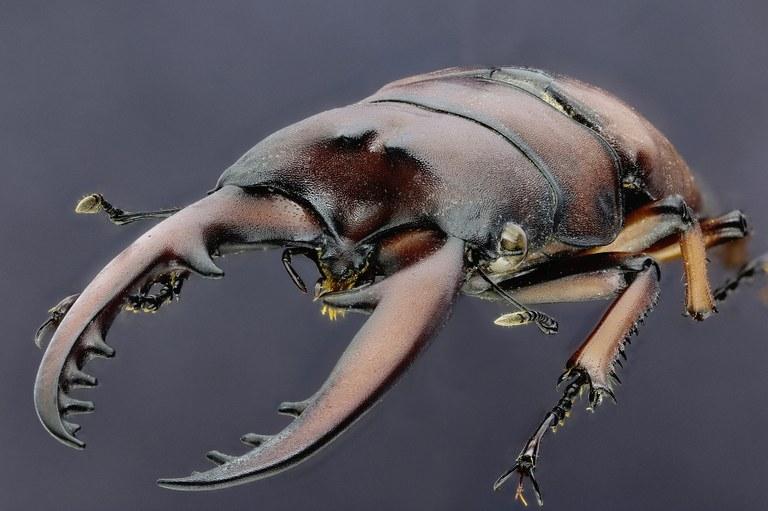 Prosopocoilus astacoides blanchardi 30482zs12.jpg