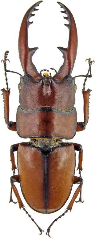 Prosopocoilus astacoides blanchardi 42917.jpg