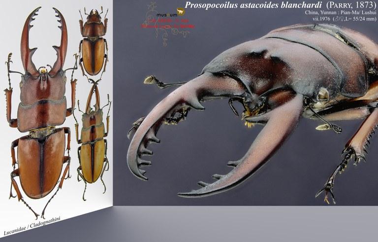 Prosopocoilus astacoides blanchardi.jpg