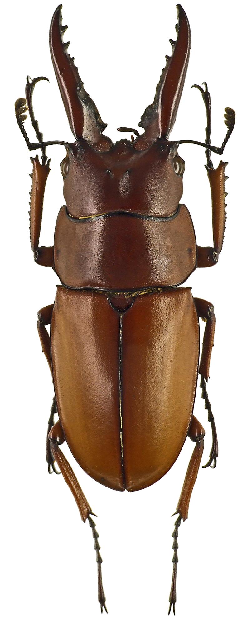 Prosopocoilus astacoides poultoni 43539cz41.jpg