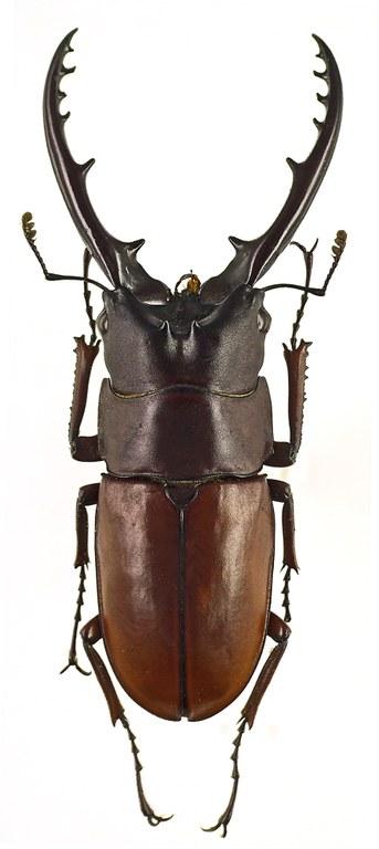 Prosopocoilus astacoides poultoni 43536cz38.jpg