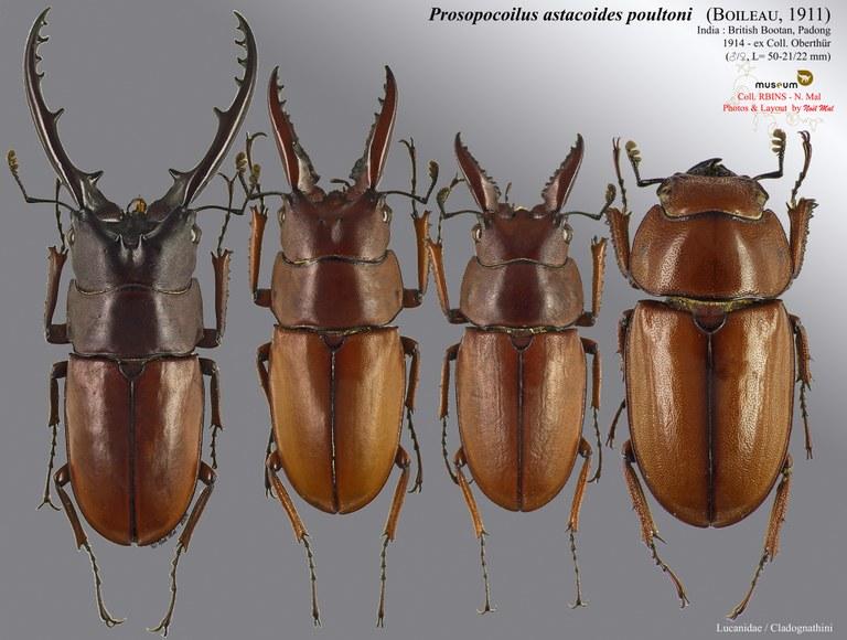 Prosopocoilus astacoides poultoni.jpg