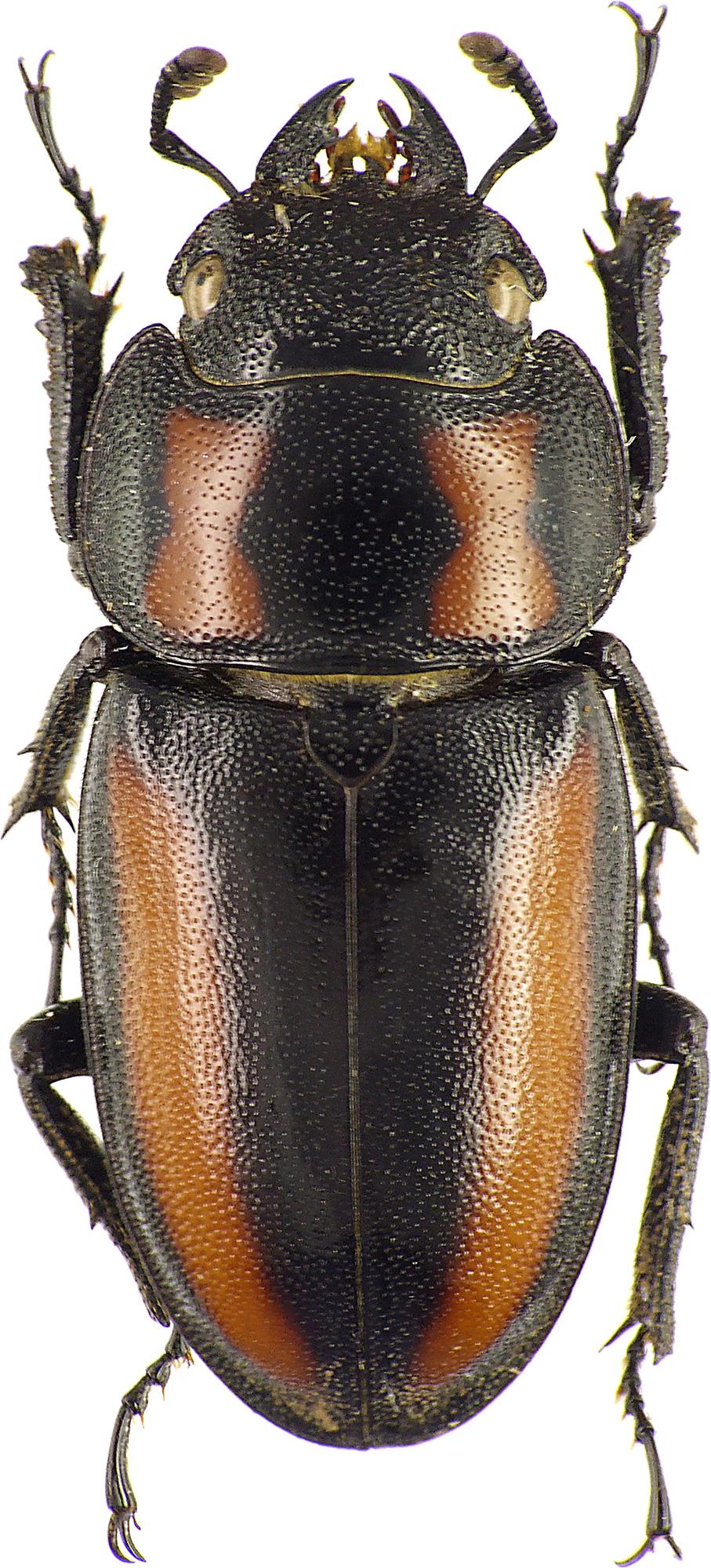 Prosopocoilus biplagiatus 43450cz53.jpg