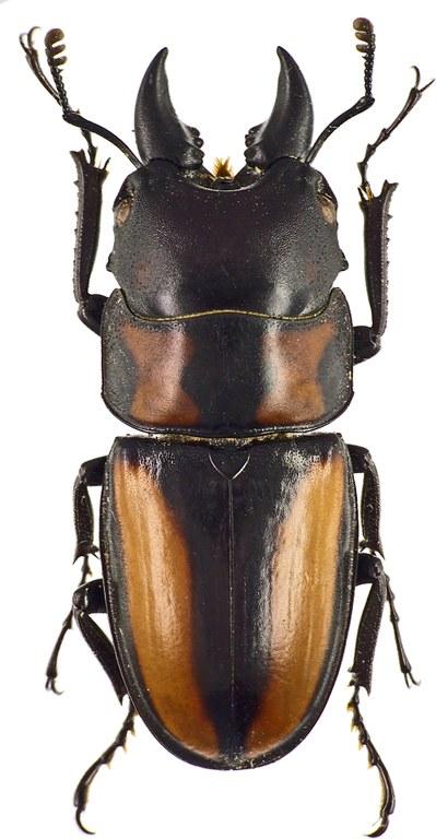 Prosopocoilus biplagiatus 43442cz45.jpg