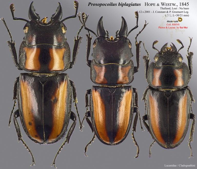 Prosopocoilus biplagiatus.jpg
