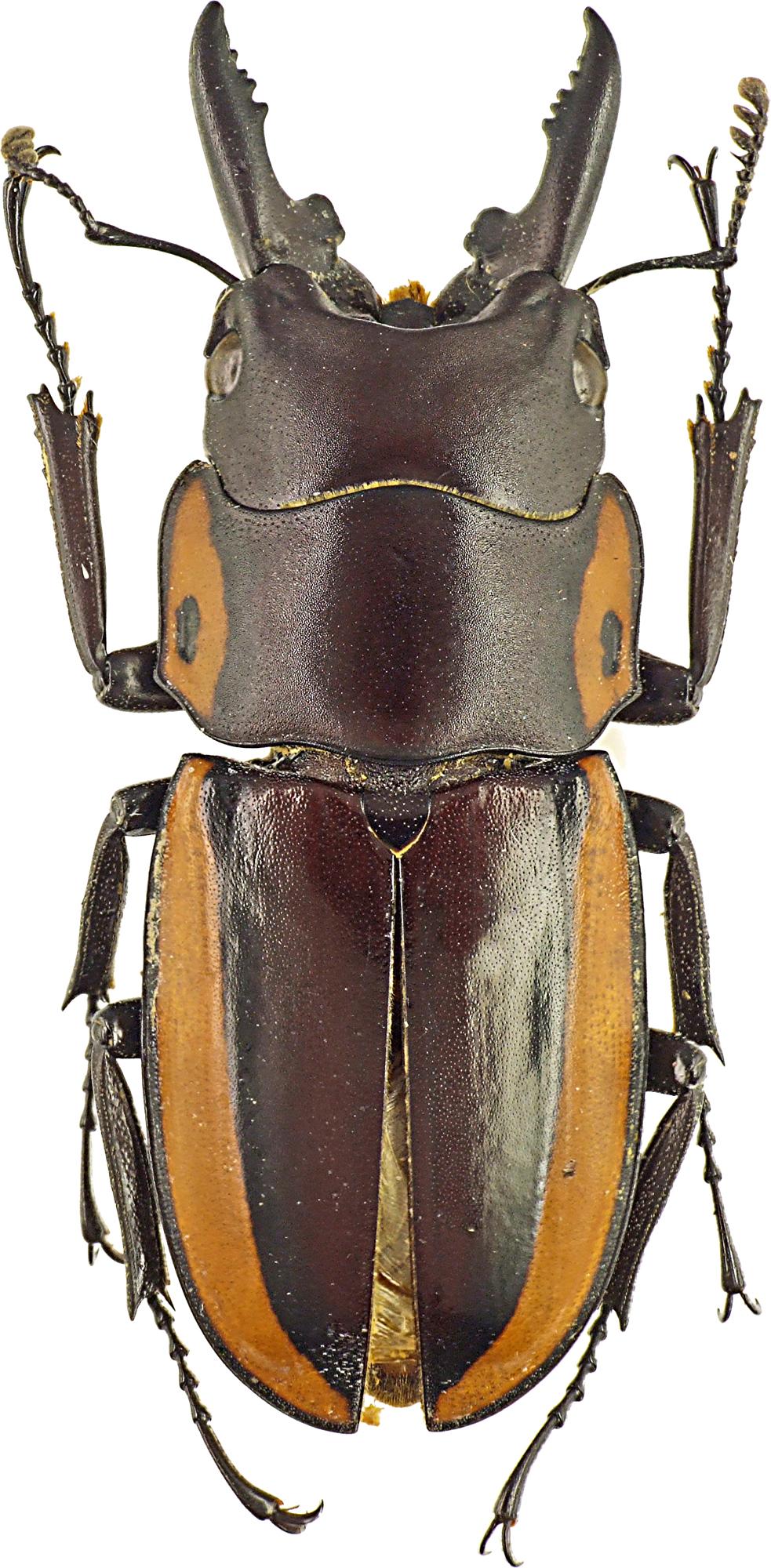 Prosopocoilus bison 43188cz90.jpg
