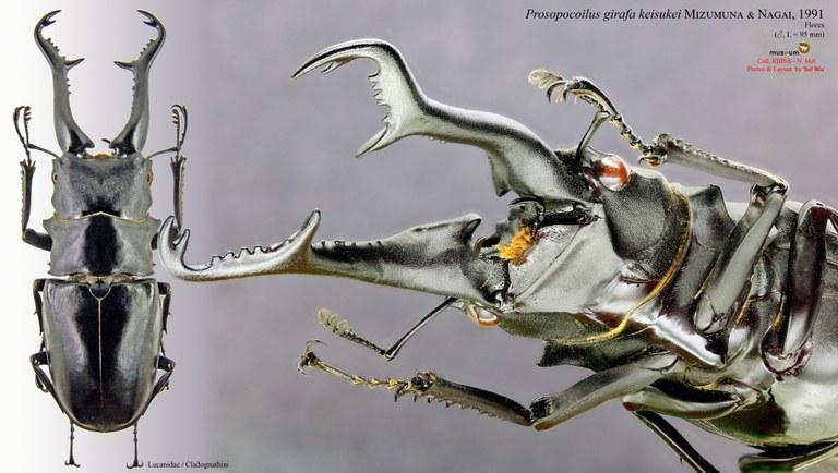Prosopocoilus girafa keisukei.jpg