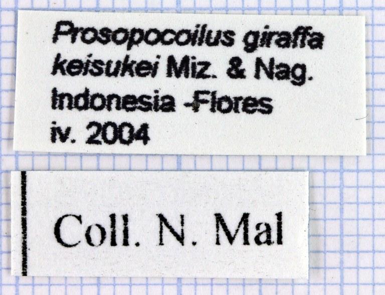 Prosopocoilus girafa lab 30268.jpg