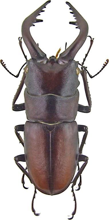 Prosopocoilus inclinatus 1219.jpg