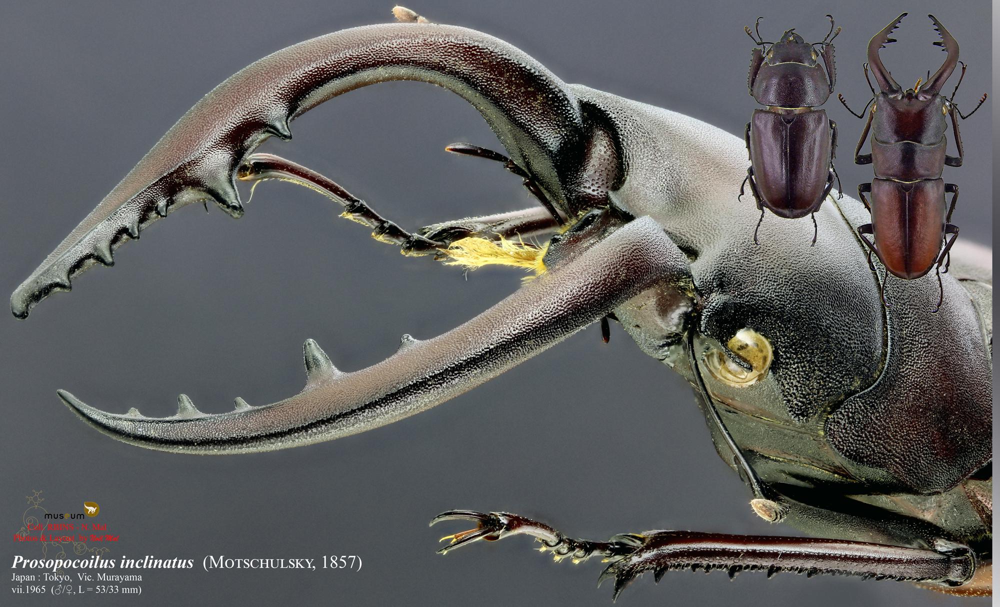 Prosopocoilus inclinatus.jpg