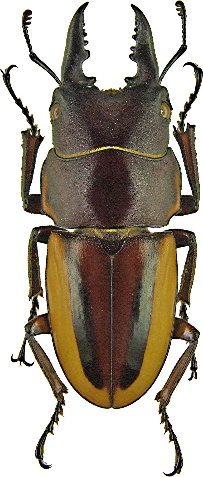 Prosopocoilus lateralis1185.jpg