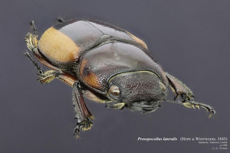 Prosopocoilus lateralis 30739zs72.jpg