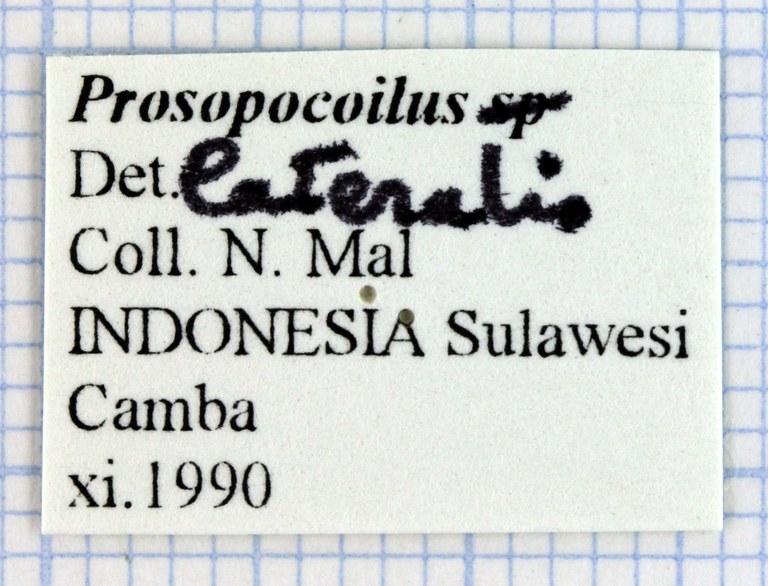 Prosopocoilus lateralis 30795.jpg