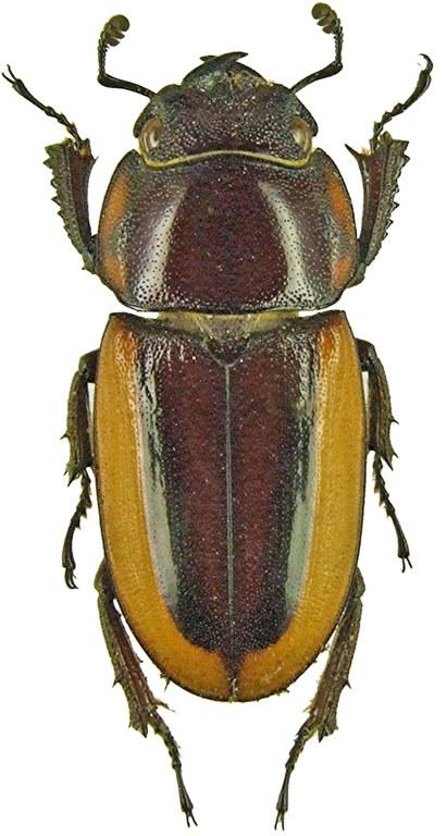 Prosopocoilus lateralis1187.jpg