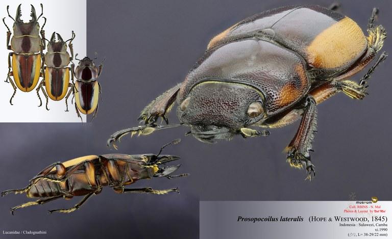 Prosopocoilus lateralisi.jpg