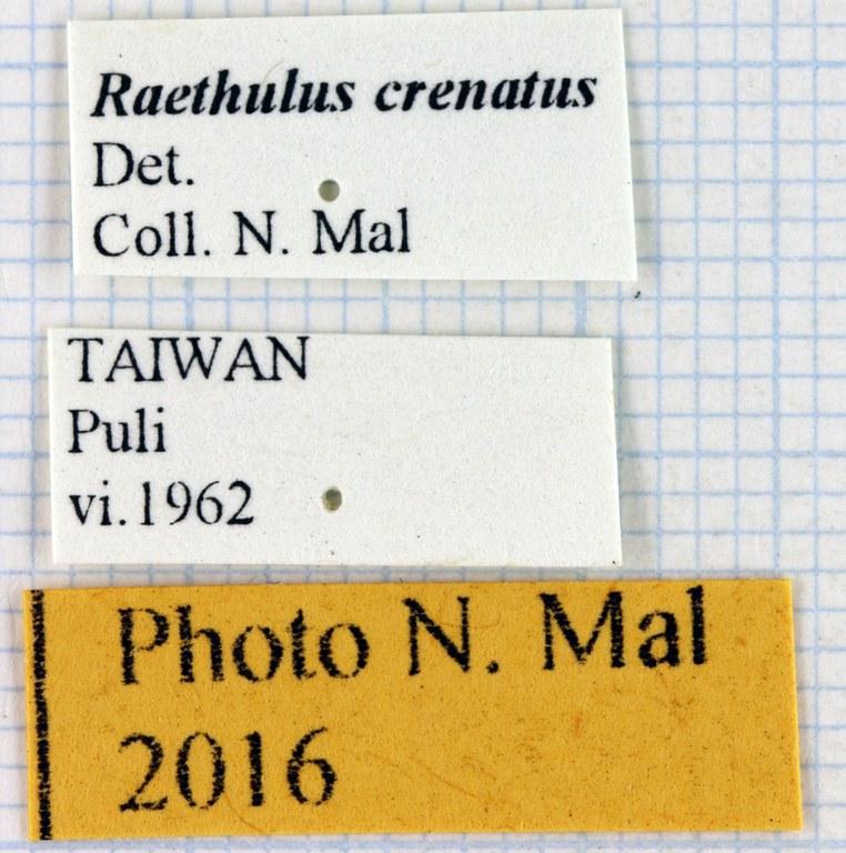 Rhaetulus crenatus 68125.jpg