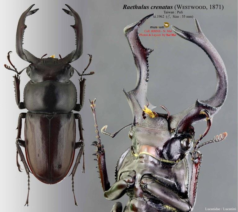 Rhaetulus crenatus.jpg