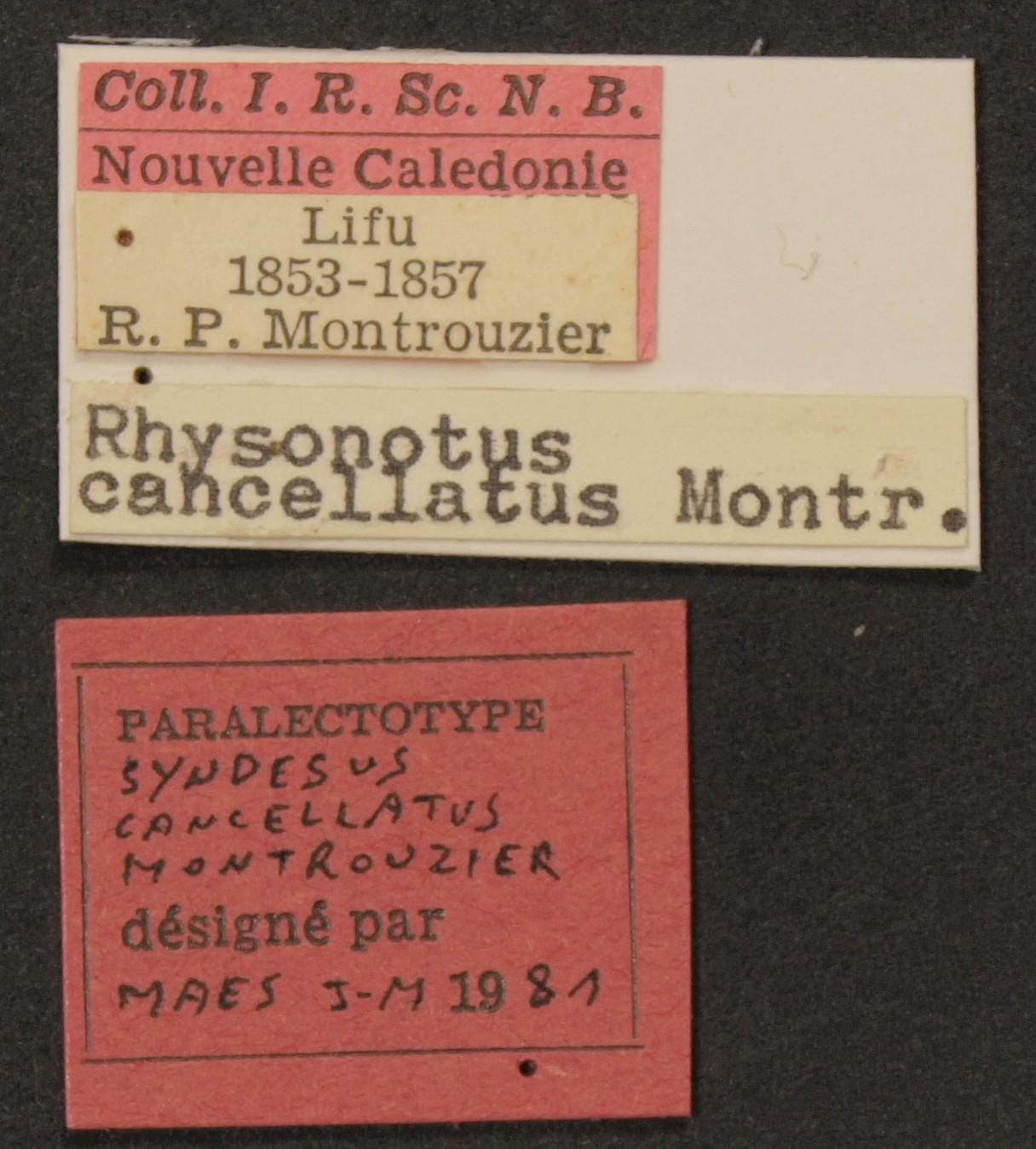 Rhyssonotus cancellatus plt Lb.JPG