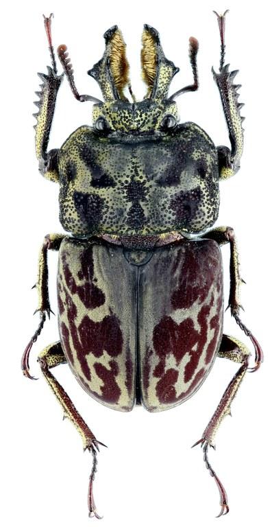 Rhyssonotus nebulosus 29333zs45.jpg