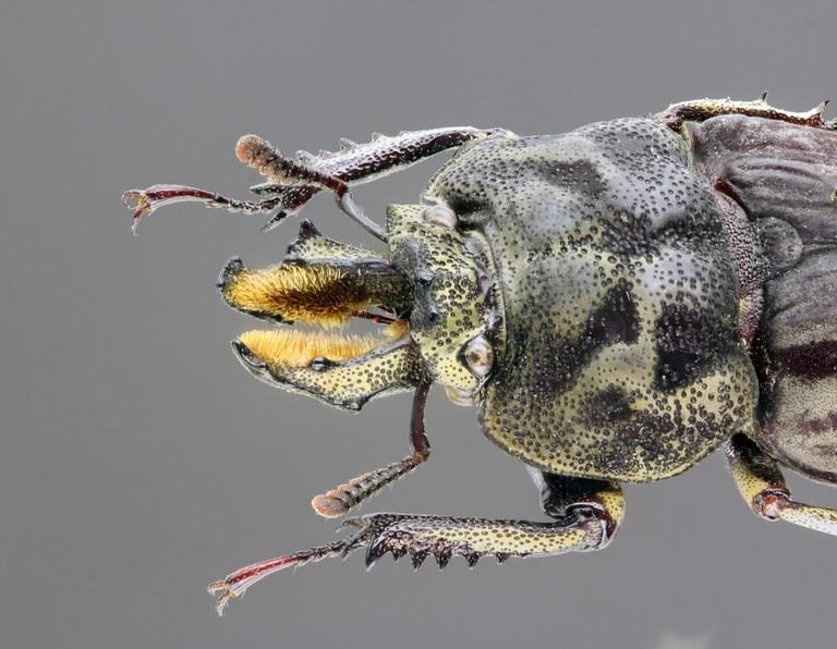 Rhyssonotus nebulosus 68218zs54.jpg