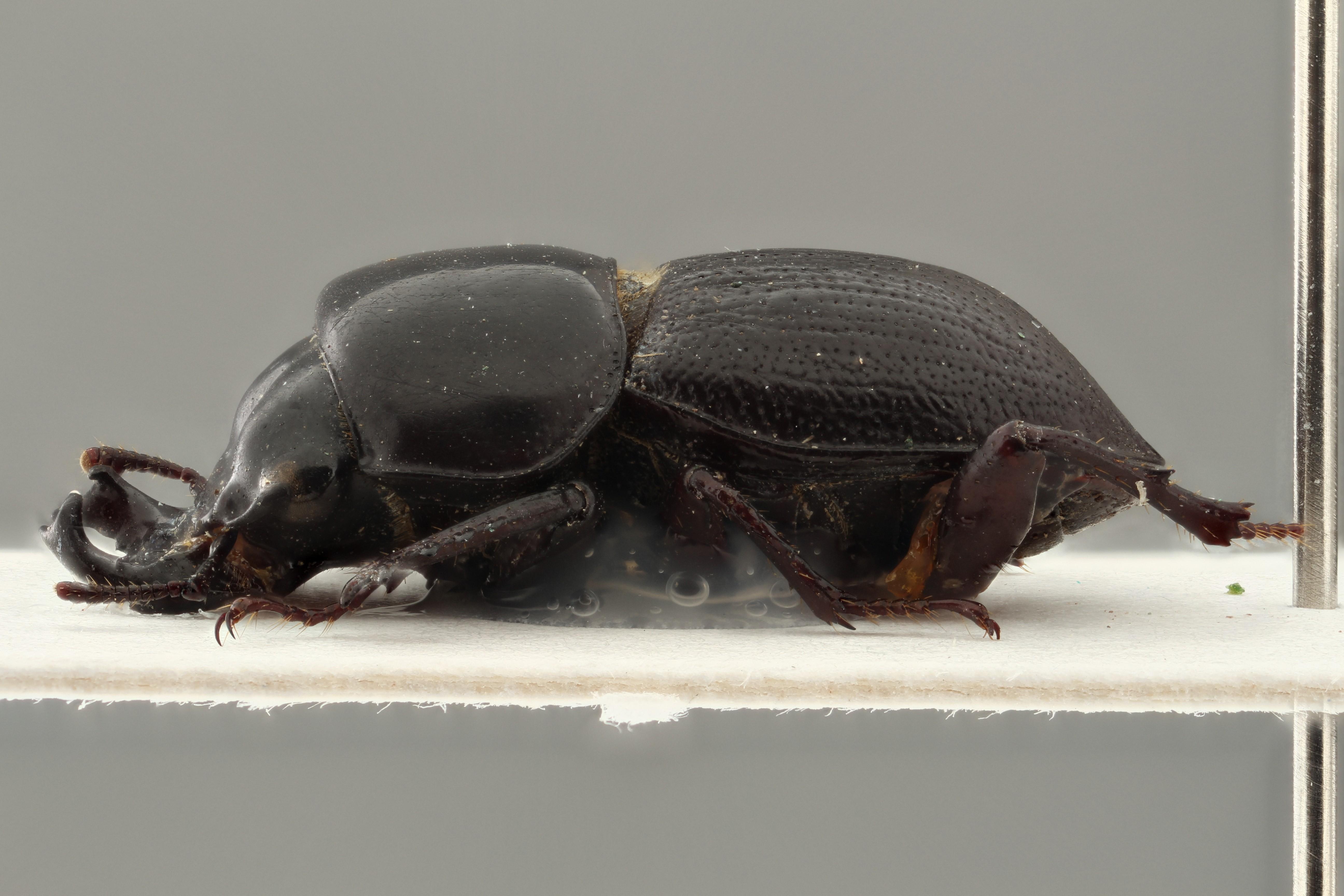 Sclerostomus rotundatus ht LZS PMax.jpg