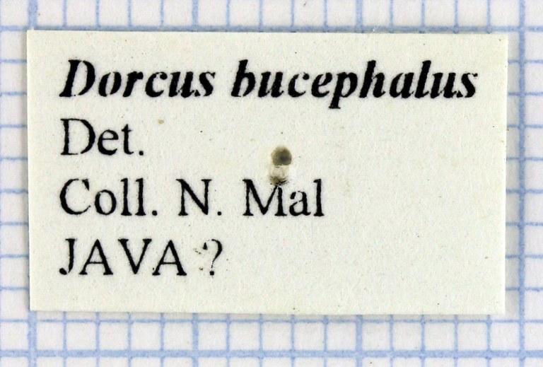 Serrognathus bucephalus 30236.jpg