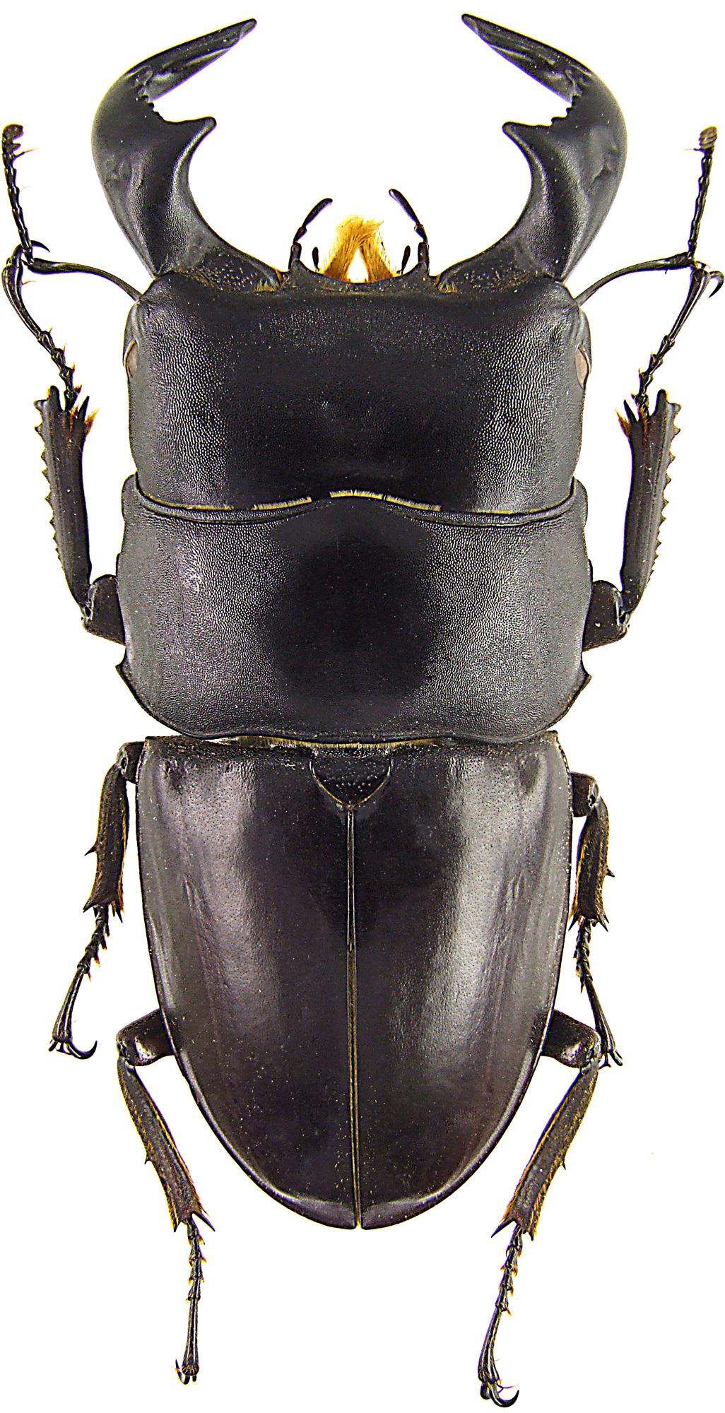 Serrognathus bucephalus 43652.jpg