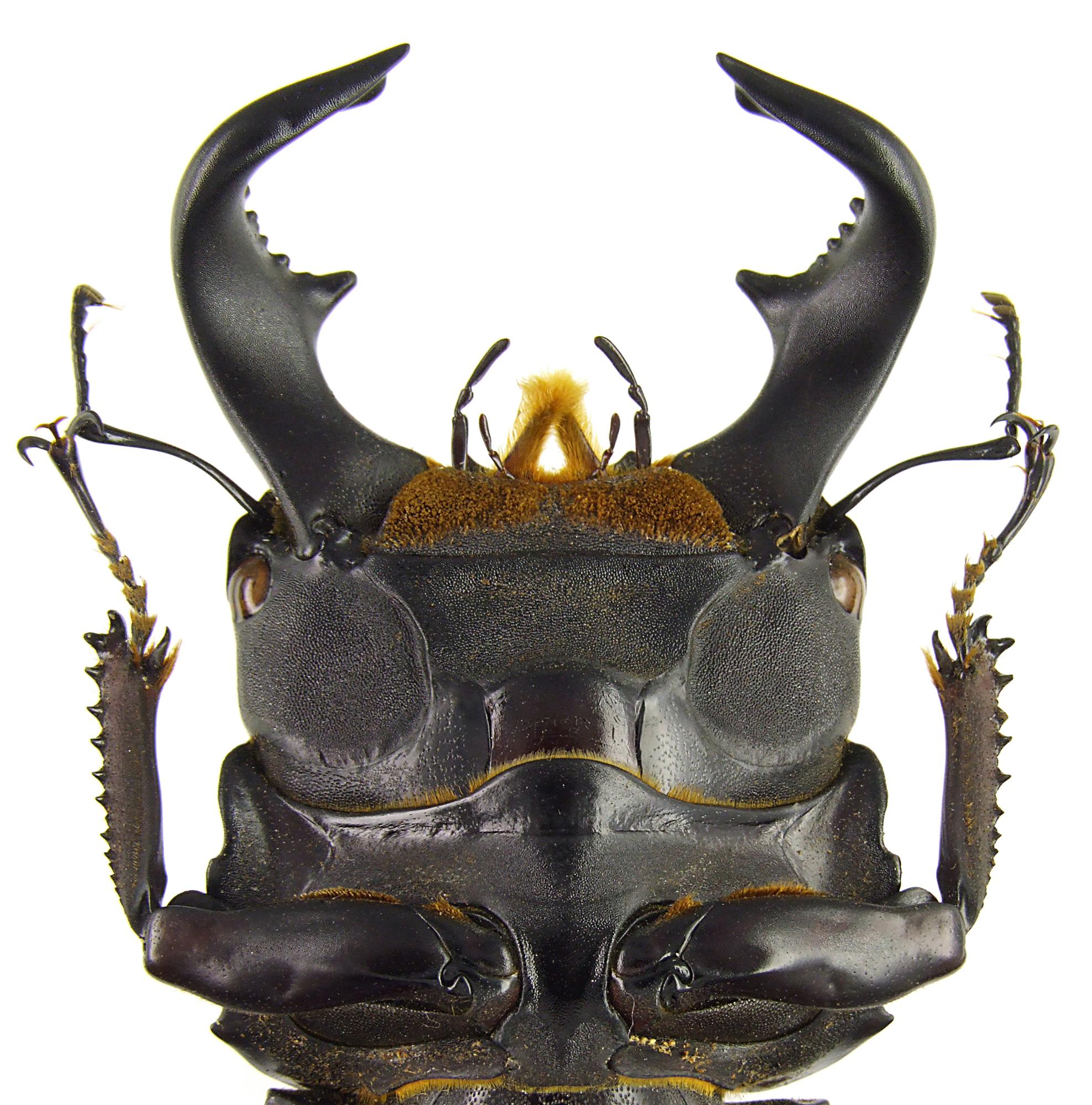 Serrognathus bucephalus 43654.jpg