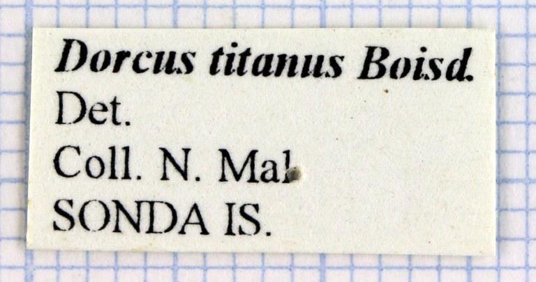 Serrognathus titanus 30236.jpg