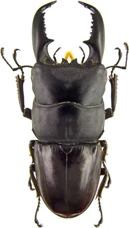 Serrognathus titanus 43657.jpg