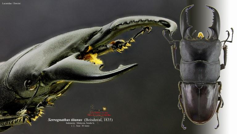Serrognathus titanus.jpg
