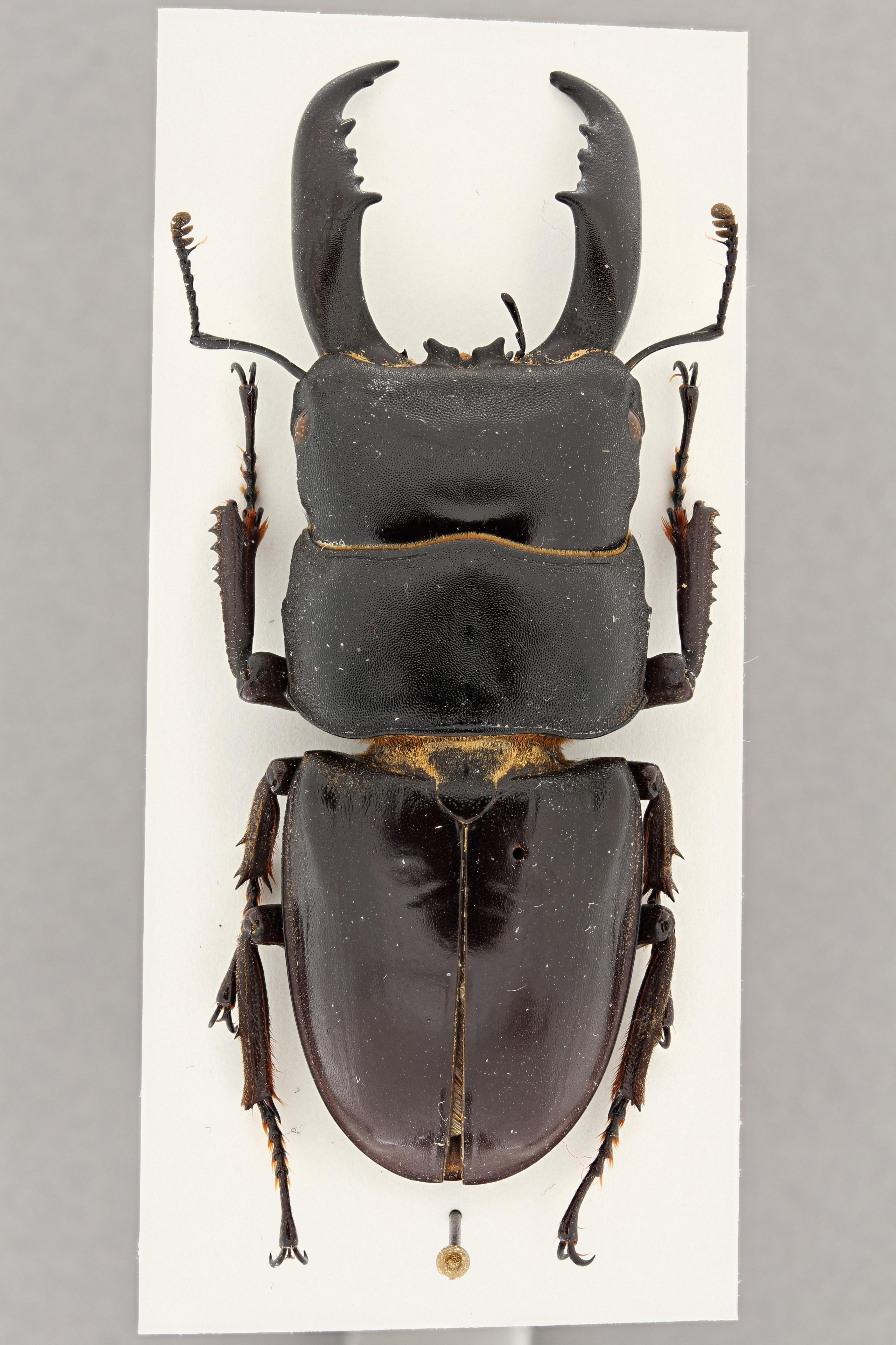 Serrognathus titanus platymelus f. dissimilis pt D ZS PMax.jpg