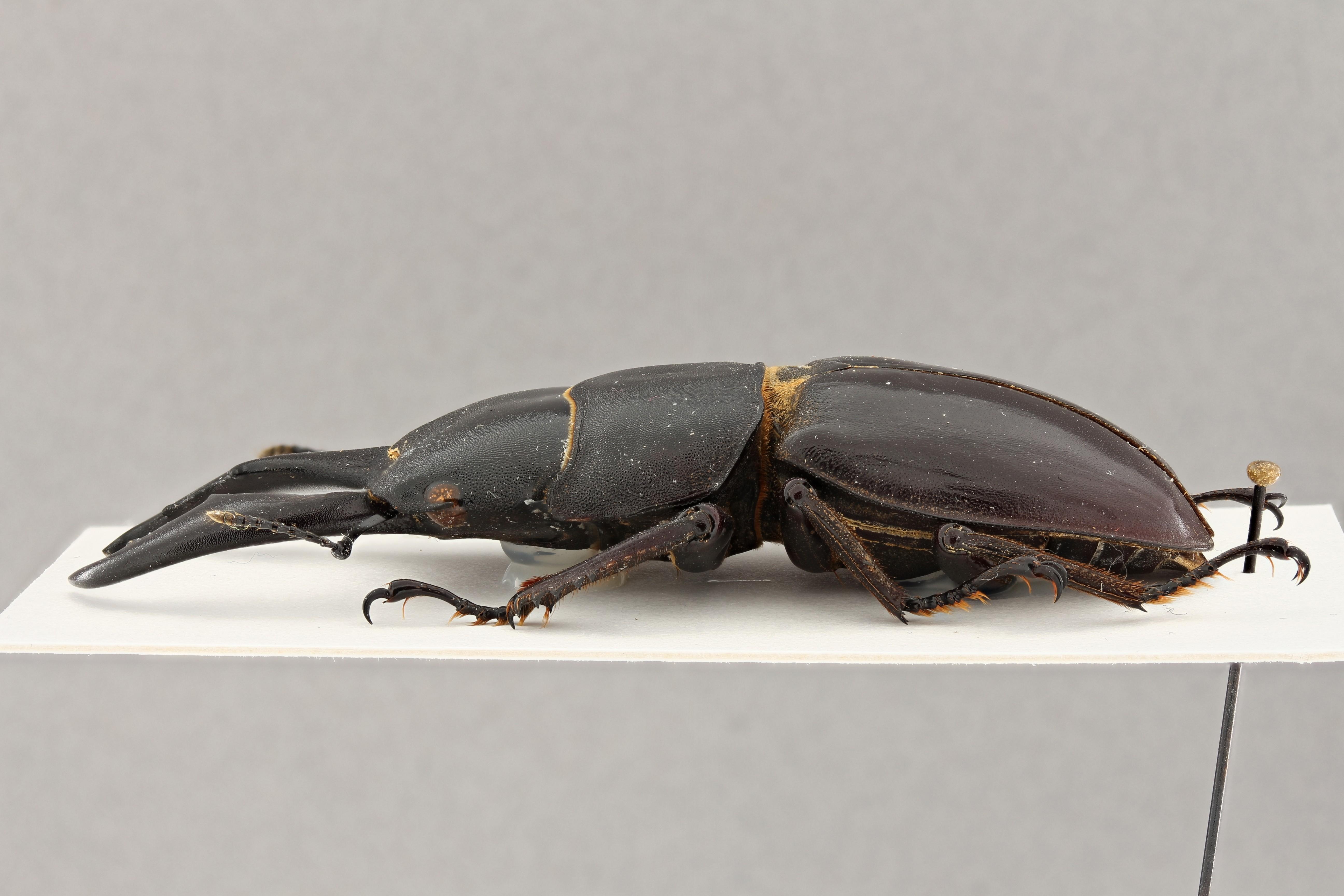 Serrognathus titanus platymelus f. dissimilis pt L ZS PMax.jpg