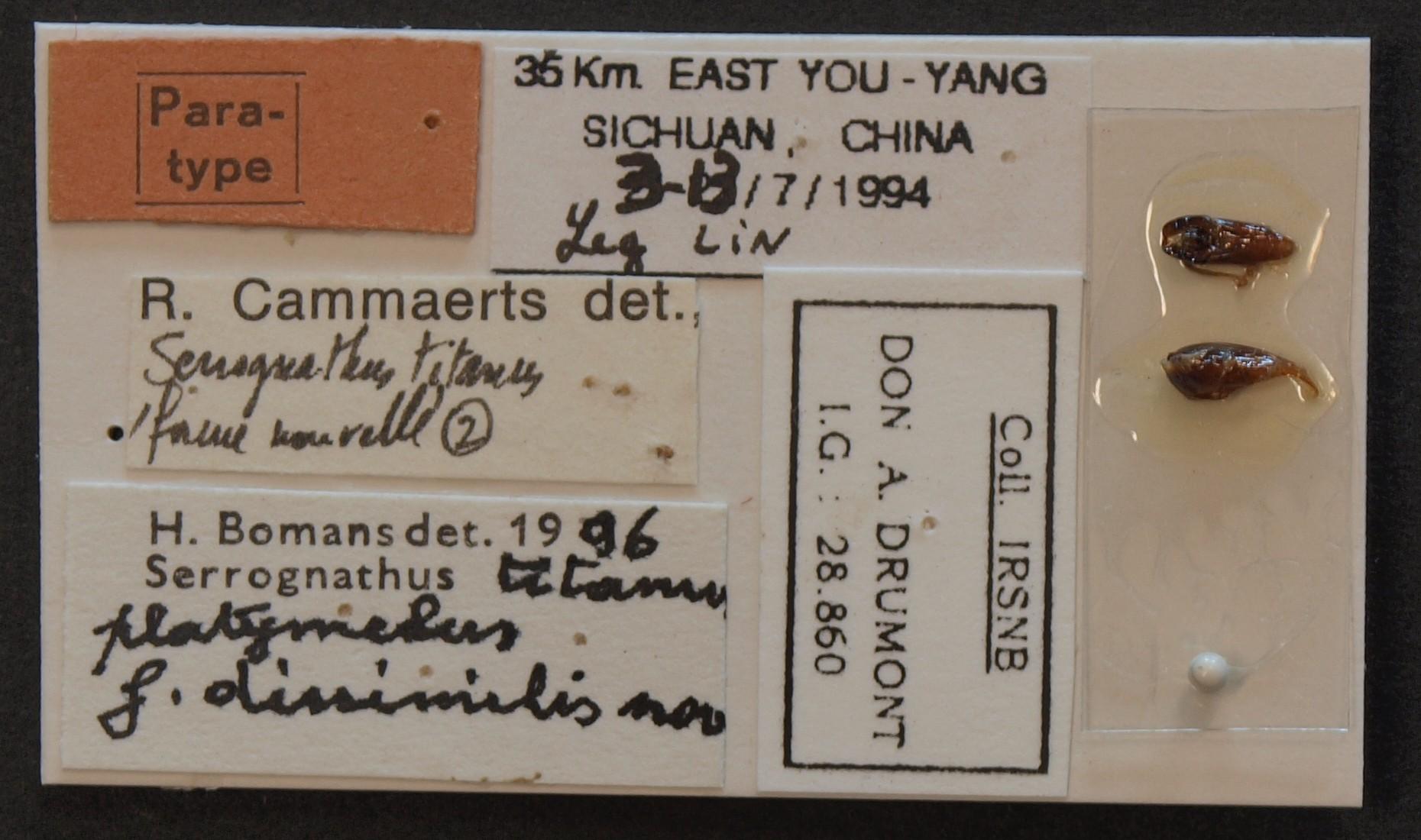 Serrognathus titanus platymelus f. dissimilis pt Lb.JPG