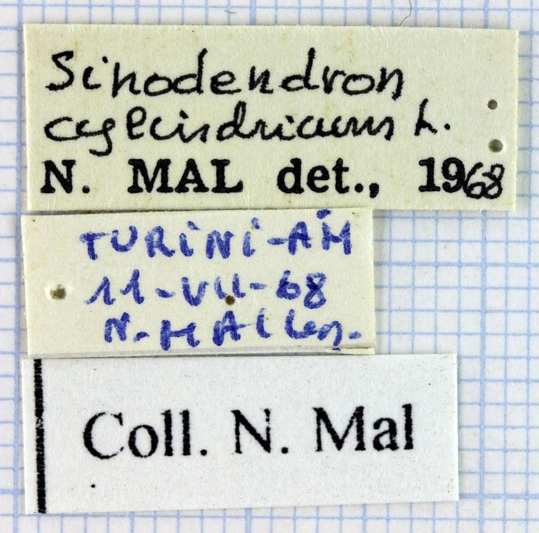 Sinodendron cylindricum 34561.jpg