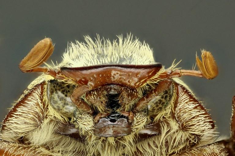 Anoxia (Protanoxia) orientalis 60841zs82.jpg