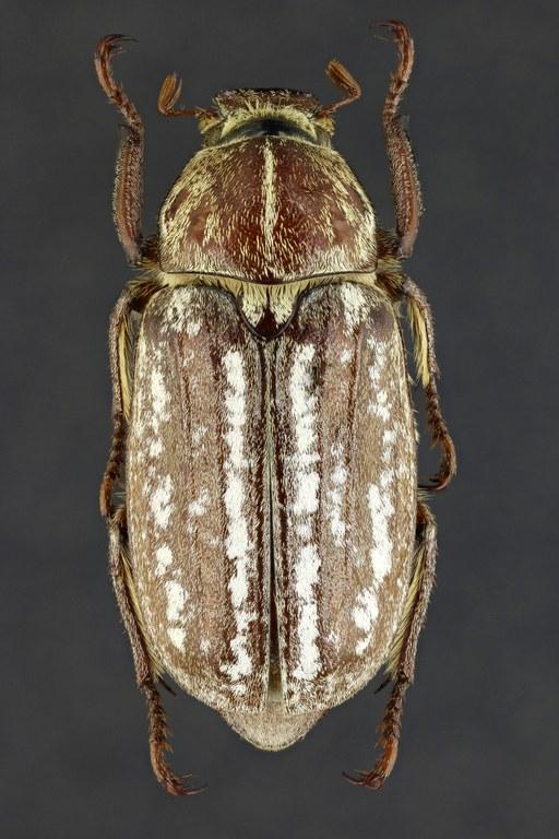 Anoxia (Protanoxia) orientalis 60883zs96.jpg