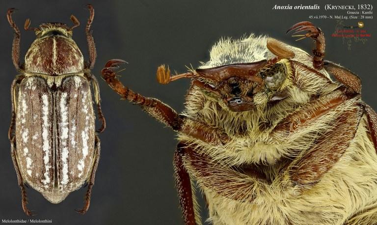 Anoxia (Protanoxia) orientalis.jpg