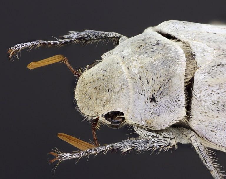 Cyphochilus insulanus 68274zs10.jpg