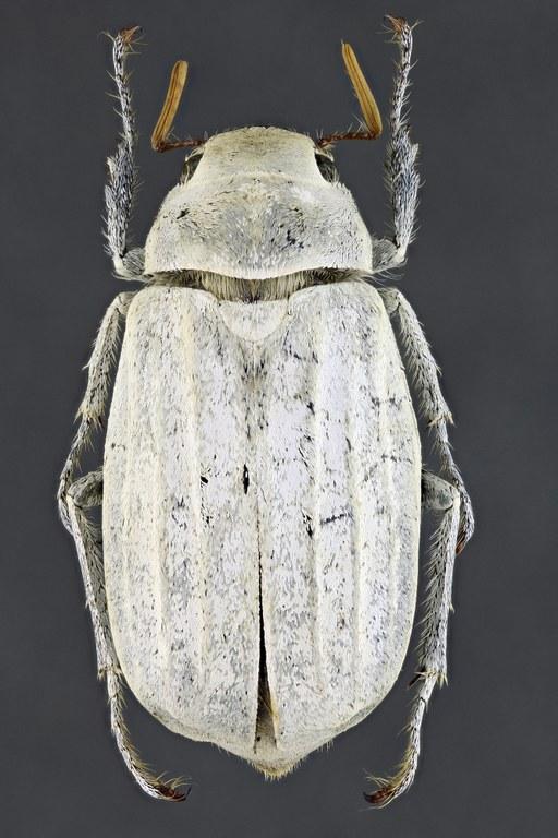 Cyphochilus insulanus 68397zs12.jpg
