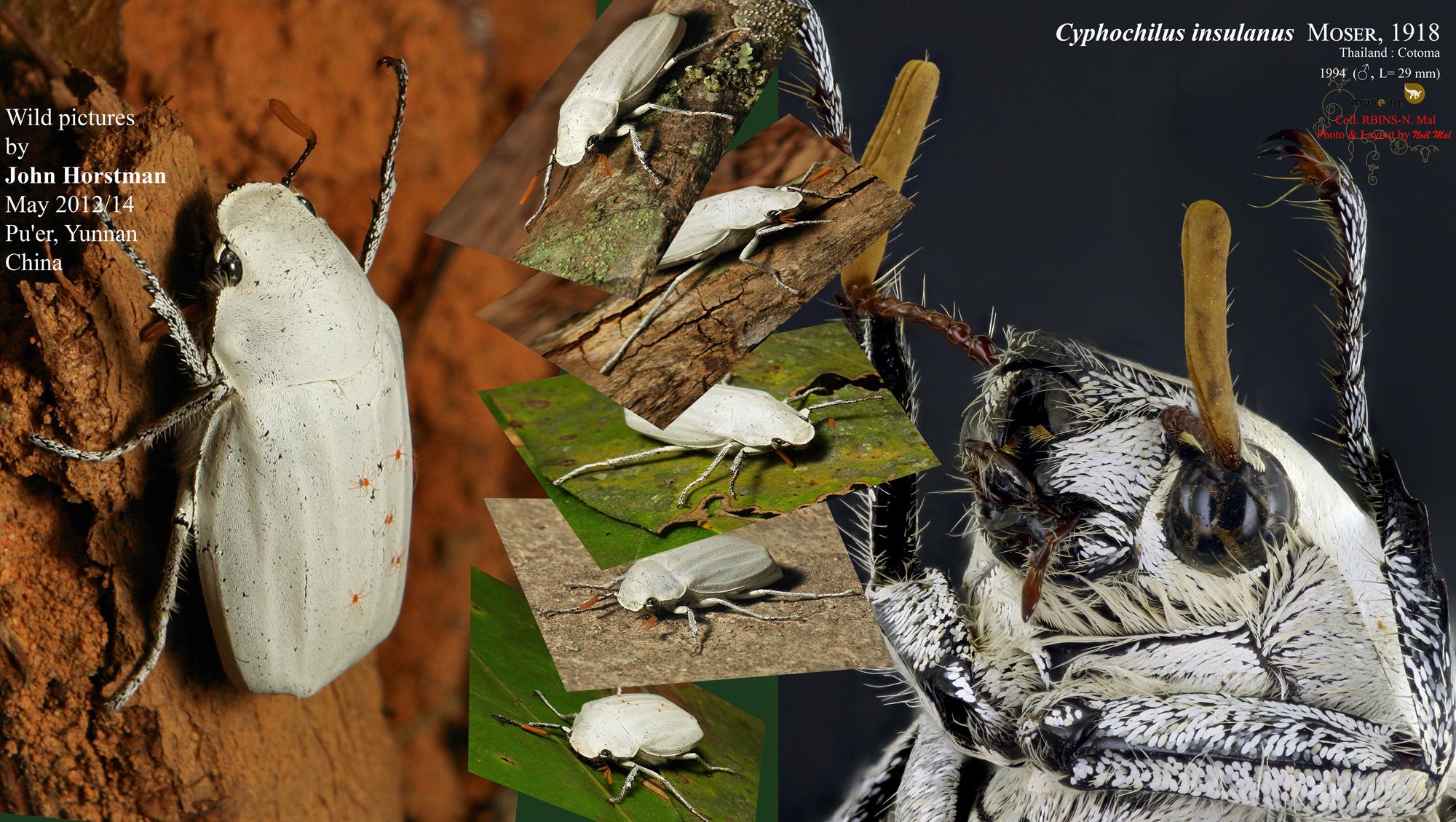 Cyphochilus insulanus JH.jpg