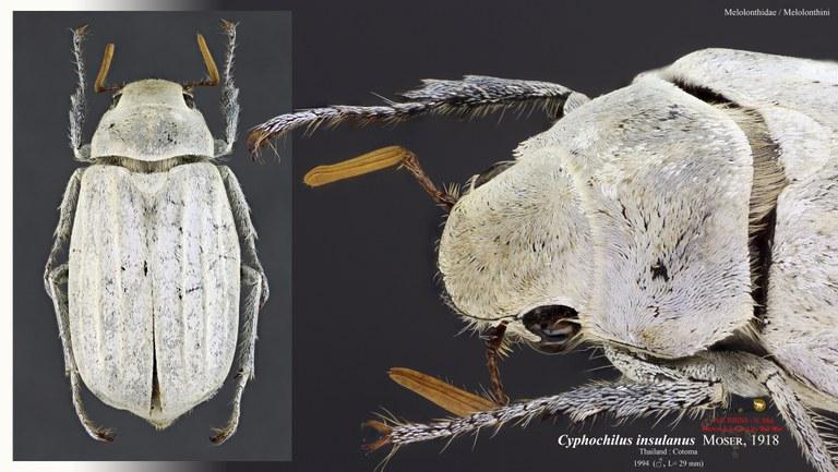 Cyphochilus insulanus nm.jpg