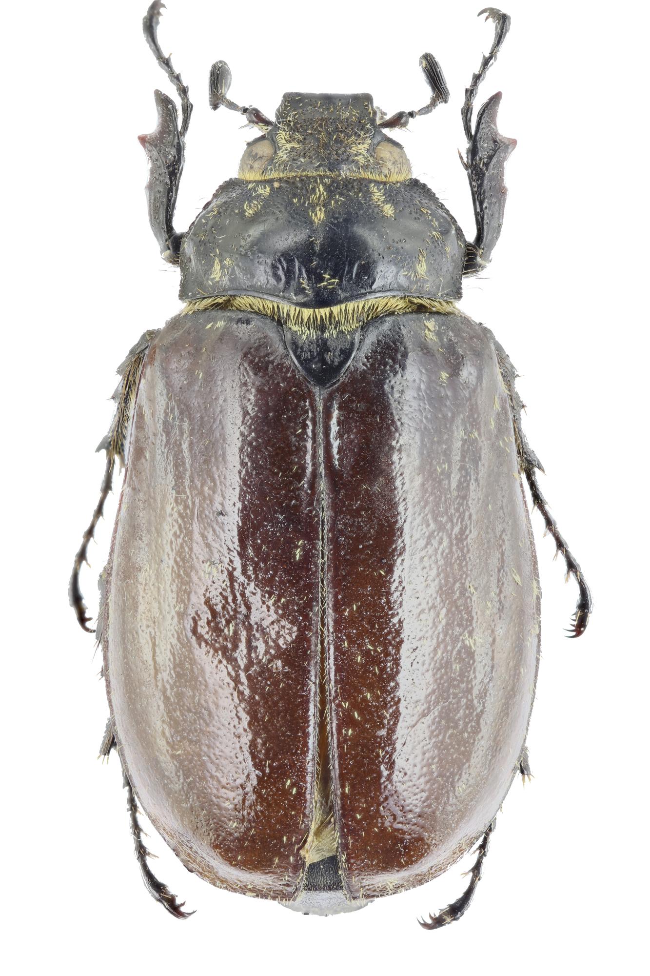 Polyphylla (Gynexophylla) gracilicornis gracilicornis 26533zs45.jpg