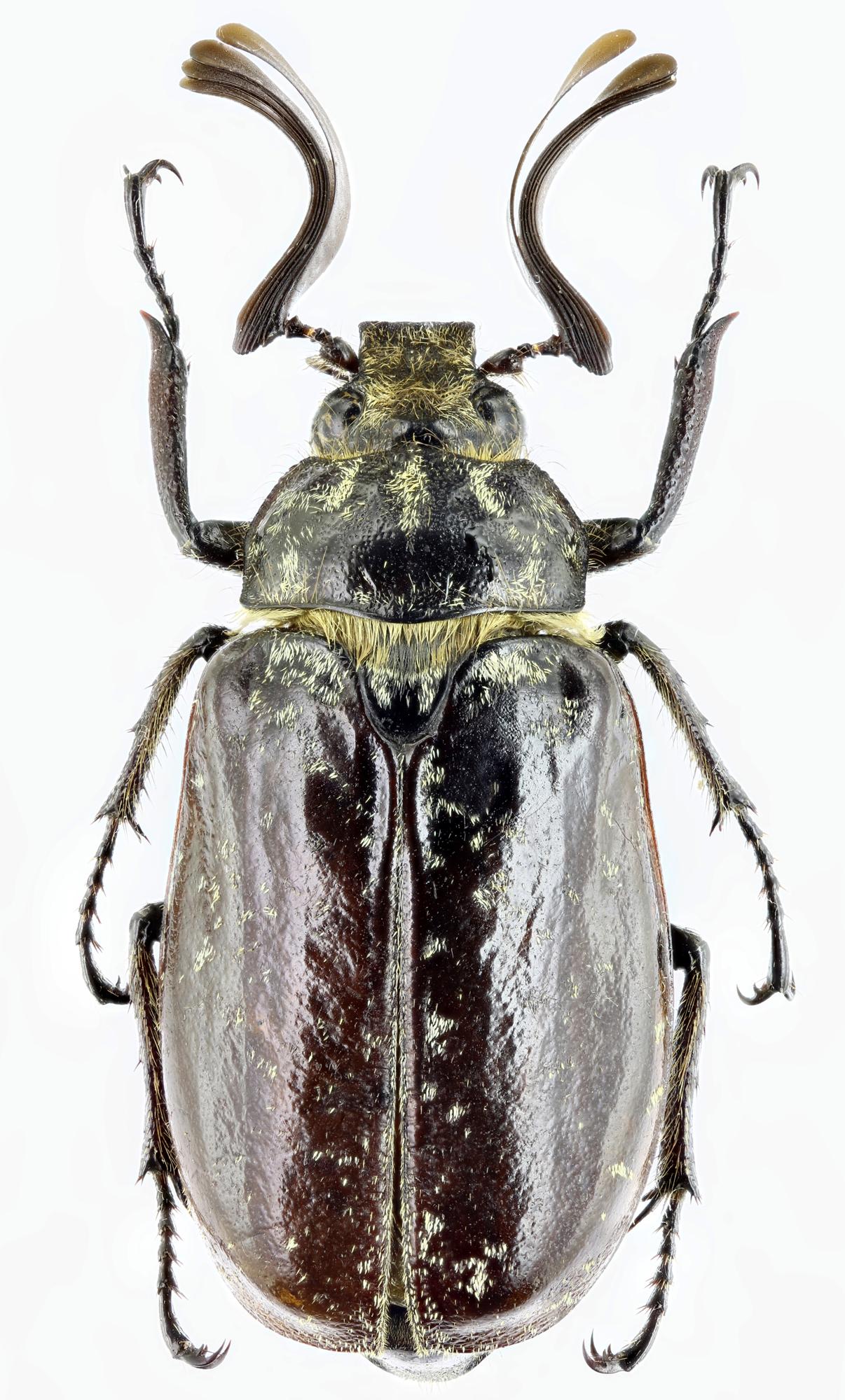 Polyphylla (Gynexophylla) gracilicornis gracilicornis 26442zs54.jpg