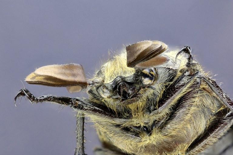 Polyphylla (Gynexophylla) gracilicornis gracilicornis 26483zs32.jpg
