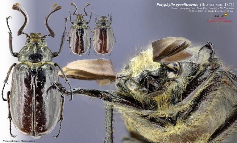 Polyphylla (Gynexophylla) gracilicornis gracilicornis.jpg
