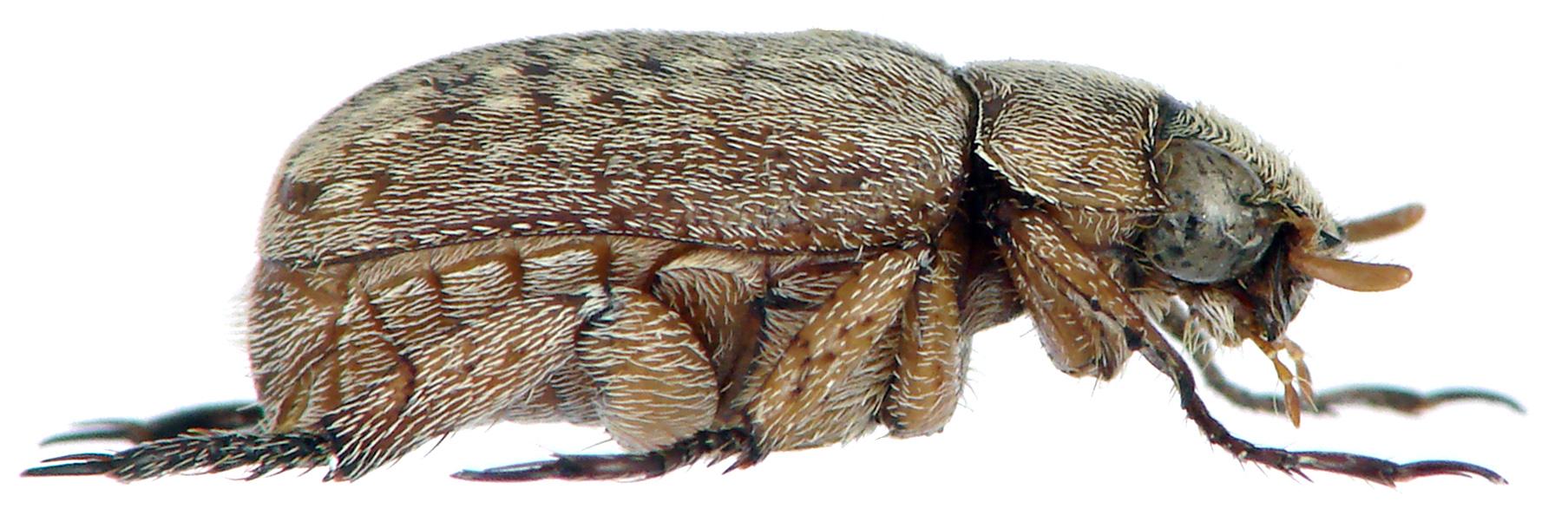 Adoretus paulyi holotype Male Lateral.jpg